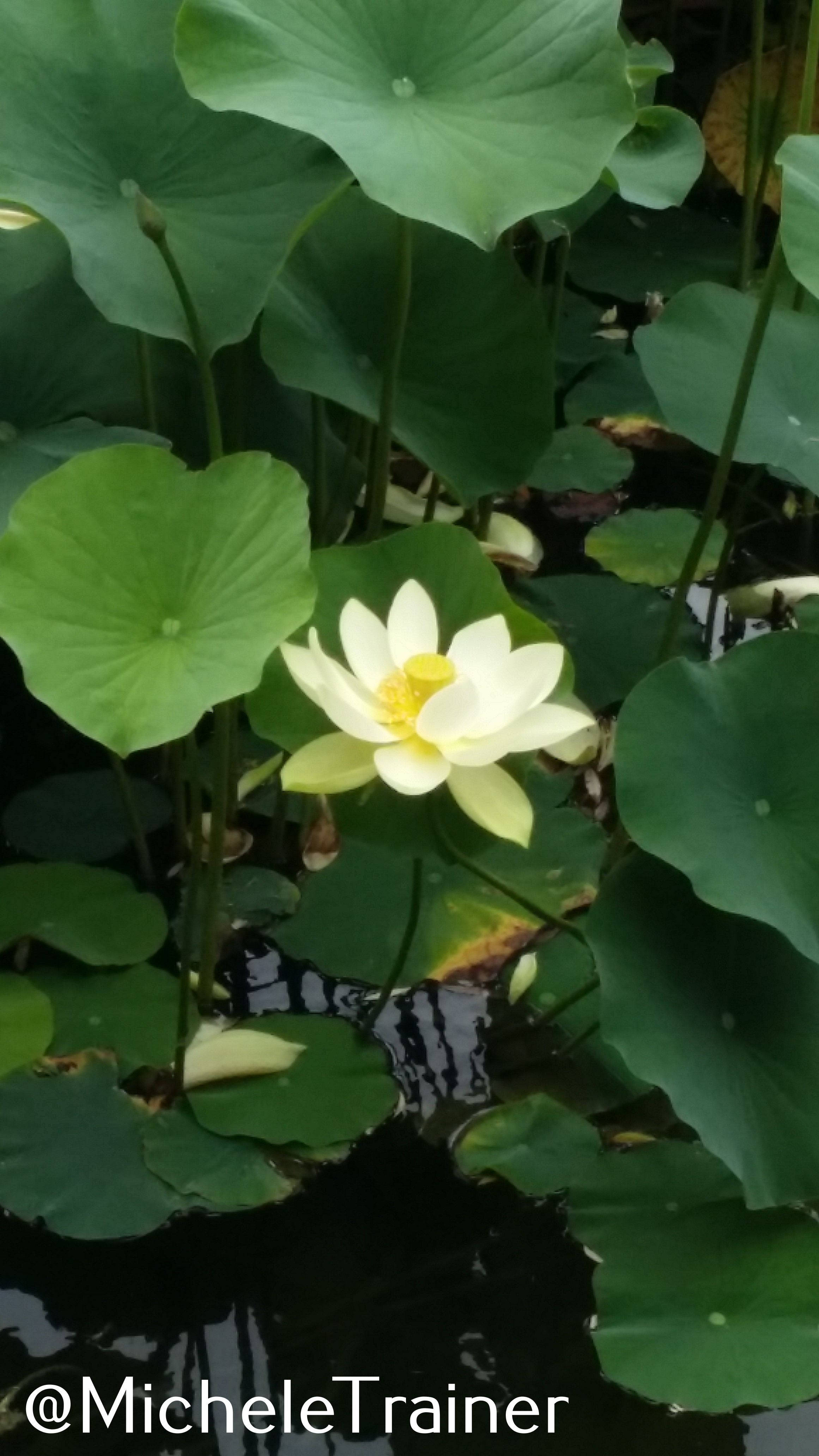 Lotus Flowers Nelumbo Nucifera Liquid Hike